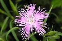 Wholesale 100Pcs a Set Dianthus superbus Seed Rare Seed Home Garden Reasonable Choice Reasonable Price Rare Seed For You