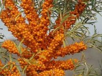 Wholesale 300Pcs A Set Hippophae rhamnoides seed Good Rare Seed Home Garden Reasonable Price Reasonable Choice Rare Seed