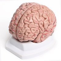 Plastics anatomical parts - New Arrival High Quality Part Human Brain With Arteries Anatomical Anatomy Model XT Kits