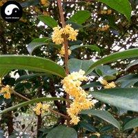 al por mayor semillas osmanthus-Comprar dulce perfumada Osmanthus árbol semillas 30pcs planta Osmanthus fragancia crecer Gui Hua