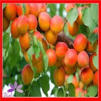 9 (20 to 30 °F) apricot fruit trees - 5Pcs Rare Apricot Tree Seeds Heirloom Organic Fruit Plant
