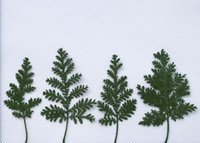 artemisia wormwood - 250pcs Pressed Dried Green Artemisia Wormwood Dry Plants For Epoxy Resin Pendant Necklace Jewelry Making Craft DIY Accessories