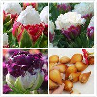 Wholesale 2pcs True tulip bulbs not tulip seeds bonsai flower bulbs ice cream as beautiful tulips Rizomas Bulbos Aroma potted plant