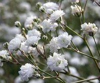 seed baby terms - 3000Pcs A Set White Color Baby Breath Gypsophila paniculata Linn Flower Rare Seed Great Service And Long term Cooperation Treasure Mountain