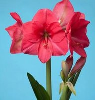 Wholesale 20Pcs A Set Small Size Pink Rival Good Amaryllis Flower Bulbs Hippeastrum Bulbs Amazing Gorgeous Excellent Day Dear