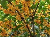 al por mayor semillas osmanthus-200pcs una buena selección razonable del jardín casero de la semilla de flor del buen de la SEMILLA de los fragrans de Osmanthus de la selección razonable precio razonable