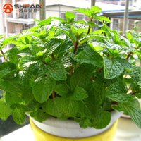 aromatic plants - Plant Mint Green Vegetable Seeds Balcony Potted Peppermint Aromatic Plant Seeds About Pieces