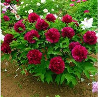Wholesale NEW Flower Seeds Chinese Herbaceous Peony g Beautiful Flower Seeds For home Garden Paeonia suffruticosa