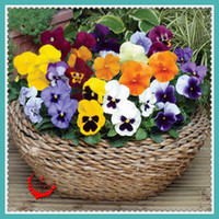 Wholesale 100 Gorgeous Pansy Seeds Lovely Beautiful Plant viola tricolor seeds for DIY home garden