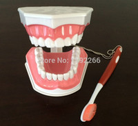 art demos - Tooth model for Teaching Early Learning demo can pull teeth mouth model Teach children to brush their teeth model