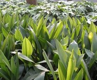 Wholesale 100Pcs A Set Aspidistra elatior Blume seed Rare Seed Home Garden Reasonable Price Reasonable Choice Rare Seed For You