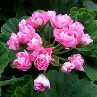 Wholesale 100 bag Purple Univalve Geranium Seeds Perennial Flower Seeds Pelargonium Peltatum Seeds for Indoor Rooms