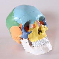 anatomy brain model - life size Human anatomy skull brain skeleton anatomical dental dentist lab anatomia model skin in trauma for bag refrigerator