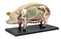 anatomy children - odontologia kids toys D pig Anatomy Medical anatomic model puzzels for children skeleton