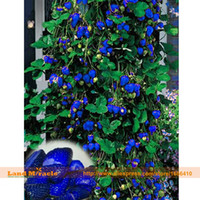 achat en gros de des baies-Blue Climbing Strawberry Seed Tree Seed, 300 Graines / Paquet, Non-OGM Berries Graines De Fruits Graines De Bonsai Pour Milieu De Serre-Terre