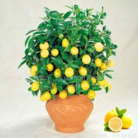 Wholesale Yellow Lemon Seeds Lemon Seeds Lime