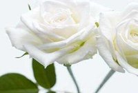 Wholesale 100pcs a Set White Color Rose Flower Seed Home Gardon Reasonable Price With Good Quality For You
