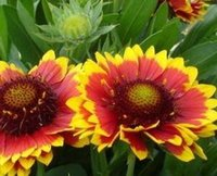 Wholesale 100Pcs a Set Gazania rigens Seed Rare Seed Home Garden Reasonable Choice Reasonable Price Rare Seed For You