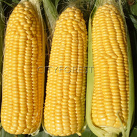 Wholesale Waxy Corn Seeds - Buy Cheap Waxy Corn Seeds from Chinese ...