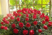 Wholesale Four seasons flower rose seeds dark green plants potted flower flower of inside and outside the courtyard balcony flowers