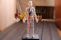 anatomical human body - D Master assembled medical model human anatomy transparent body anatomical model