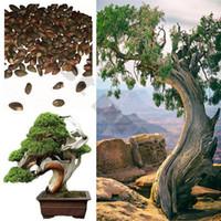 Wholesale Beautiful Chinese Juniper Bonsai Tree Seeds Juniperus chinensis UK Seller