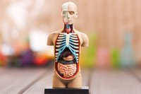 anatomical torso model - small human torso Human Anatomy model Human bust head musculoskeletal anatomical models assemble