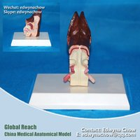 anatomical ear - A09 Dog Ear Anatomical Models with Healthy and Disease for veterinarian s reference