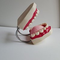 Wholesale Anatomical Teeth Models Dentist Teaching Oral Hygiene Model inches
