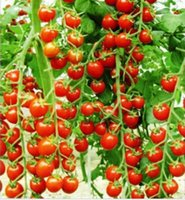 Wholesale 30seeds bag Courtyard terrace planted tomatoes cherry tomato fruit vegetable seeds red cherry tomatoes