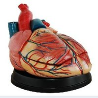 anatomical parts - Enlarged Heart Anatomical Model Teaching Model Anatomical Model X Parts Educational Supplies for School Hospital