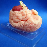 Art anatomical parts - HOT Deluxe Brain Anatomical Model Human Brain Model parts Medical Brain Model