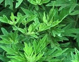 Wholesale 2000pcs a set Artemisia argyi H Lév Vaniot Seed real Home Garden Diy Very Rare Cherish it thanks