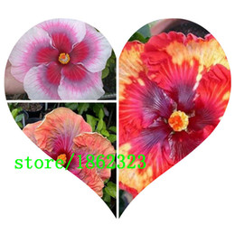 Wholesale 100 seeds bag Drunk hibiscus seeds flower seed sowing flower parterre garden terrace balcony potted seeds