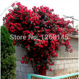 50pcs 1 pack red Climbing Rose Seeds Polyantha Rose Seeds bonsai seeds DIY home garden free shipping A002