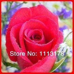 Wholesale Fushia rose rainbow rose seed Rose Seeds flower seeds dark pink rose seed