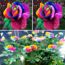 New Beautiful Romantic 500Pcs Rainbow Rose Seeds Multi Colored Perennial Fragrant Home Garden Decoration