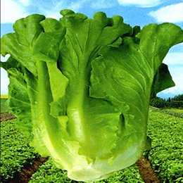 Wholesale Large lettuce potted seed large green Environment Farm seeds indoor and outdoor potted plants purify the air mixing colors