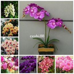 Wholesale Flower pots planters Butterfly orchid seeds phalaenopsis orchids seeds Bonsai plants Seeds for home garden seeds bag