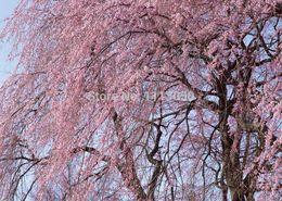 Цветковые деревья Онлайн-10 шт / пакет Розовые семена вишни Цветет дерево семян + секретный подарок цветок Семена бонсай. DIY для дома и сада