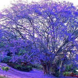 Wholesale 20 BLUE JACARANDA TREE Fern Tree Brazilian Rose Wood Green Ebony Jacaranda Mimosifolia Seeds Blooming TT253