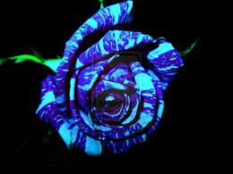 Wholesale 20 Blue Dragon Rose Seeds Rare beautiful stripe rose bush plant garden or yard flower SS010