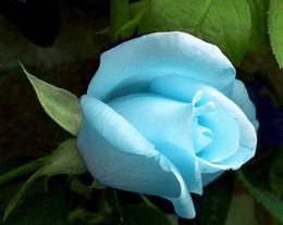 Free Shipping Light Sky Blue Rose Flower Seeds *100 Seeds Per Package* Balcony Potted Flowers Garden Plants