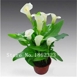 Wholesale 100 PC senior perfume lily seed varieties Garden plants flower seed bonsai lily seed