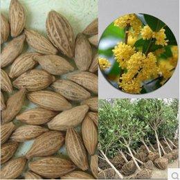 Wholesale 100pc Osmanthus fragrans Sweet Olive seed O fragrans Gui Hua tree seeds