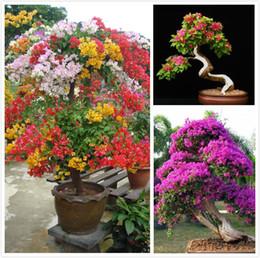 Wholesale 100 Mix Color Bougainvillea Balcony pot yard bonsai flower plant immensely showy floriferous hardy plant SS261