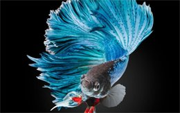 Wholesale BETTA Siamese blue Fighting Fish colorful tropical Home Decoration Canvas Poster x36 inch Silk Poster wall decor