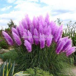 Wholesale Beautiful Flowers seed Rare Purple Pampas Grass Garden plant Flowers Cortaderia Selloana Flower seeds