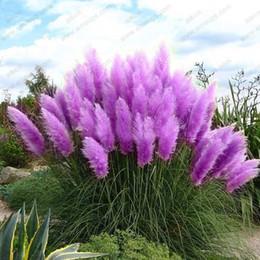 Wholesale New Rare Purple Pampas Grass Seeds Ornamental Plant Flowers Cortaderia Selloana Grass Seeds Pieces
