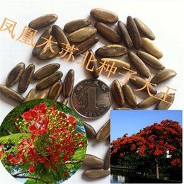 Wholesale High quality seed base delonixregia seeds of safflower seed phoenix tree seed alias Ying